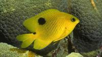 Three-spot Angelfish Juvenile