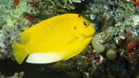 Three-spot Angelfish Adult