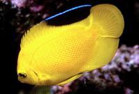 Golden Angelfish (Centropyge heraldi)