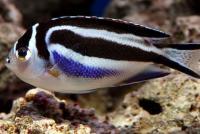 Bellus Angelfish Female