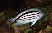 Lamarcks Angelfish Female