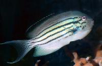 Lamarcks Angelfish Male