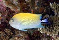 Blackspot Angelfish Female