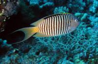 Zebra Angelfish Male