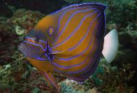 Blue-Ring Angelfish Adult