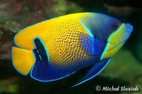 Blue-Girdled Angelfish Adult