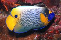 Blue-Faced Angelfish Adult