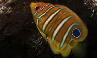 Regal Angelfish Juvenile