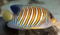 Regal Angelfish Adult