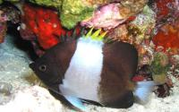Brown-And-White Butterflyfish