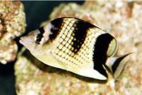 Silver And Black Butterflyfish