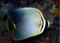 Baroness Butterflyfish