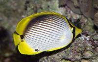 Chaetodon melannotus