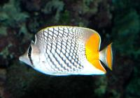 Chaetodon xanthurus