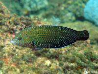 راس خال آبی (Bluespotted Wrasse)