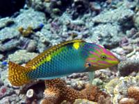 راس شطرنجی بالغ (Checkerboard Wrasse Adult)