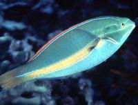 راس خط آبی نر (Blueline Wrasse Male)