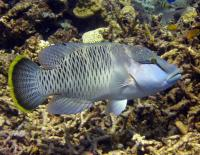 راس تاج دار (Humphead Wrasse)