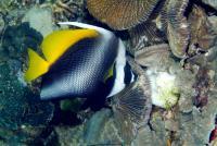 بنر دُم چلچله ای فیلیپینی (Philippine Pennant Bannerfish)