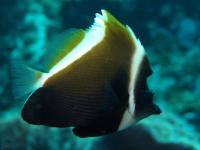 بنر تاجدار (Humphead Bannerfish)