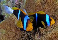 شقایق ماهی باله نارنجی (Orange-Finned Anemonefish Papua)