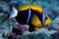 دلقک باله نارنجی (Orange-Finned Clownfish)