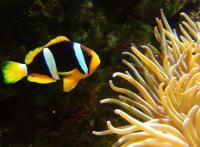 دلقک کِلارکی طلایی (Gold Clarks Clownfish)