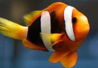 دلقک کِلارک (Clarks Clownfish)