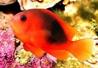 دلقک زین دار (Saddle Clownfish)