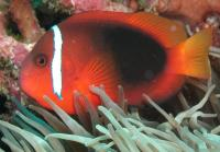 دلقک قرمز (Red Clownfish)