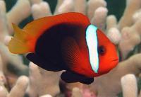 شقایق ماهی مشکی (Black Anemonefish)