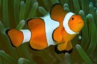 دلقک ماهی (Clownfish)