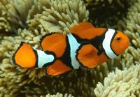 دلقک ماهی پر کولا ( Percula Clownfish)