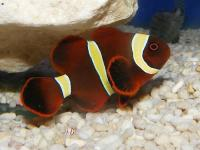 دلقک ماهی گونه خاردار طلایی (Gold Spine-Cheeked Clownfish)
