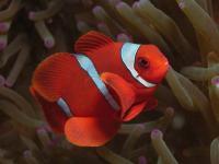 دلقک ماهی گونه خاردار (Spine-Cheeked Clownfish)