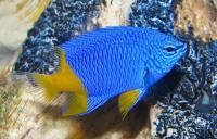 دمسل زرد-آبی (Half Blue Half Yellow Damsel)