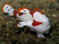 قورباغه ماهی زگیل دار (Warty Frogfish)