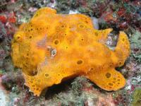 قورباغه ماهی رنگ شده (Painted Frogfish)