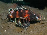 خروس ماهی دو خال (Twinspot Lionfish)