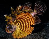 خروس ماهی باله کوتاه طلایی (Gold Shortfin Lionfish)