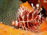 خروس ماهی باله کوتاه (Shortfin Lionfish)