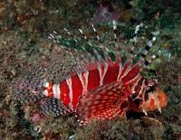 خروس ماهی راه راه (Zebra Lionfish)