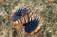 خروس ماهی خار دار (Gurnard Lionfish)