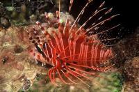 خروس ماهی باله خال دار (Spotfin Lionfish)