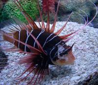 خروس ماهی باله شیشه ای (Clearfin Lionfish)