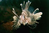 خروس ماهی راسِل (Russells Lionfish)