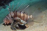 خروس ماهی باله پری (Volitans Lionfish)