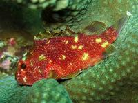 عقرب ماهی خال زرد (Yellow-Spotted Scorpionfish)
