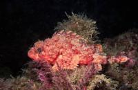 عقرب ماهی قرمز (Red Scorpionfish)