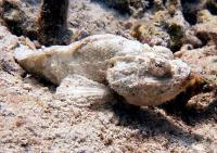 عقرب ماهی شیطانی (Devil Scorpionfish)